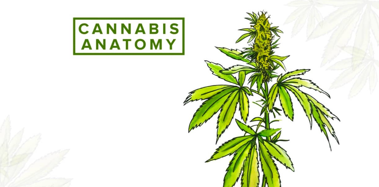 Cannabis Anatomy - Chesapeake Apothecary